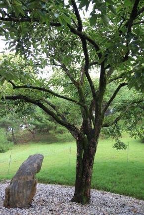 媽媽柿子樹